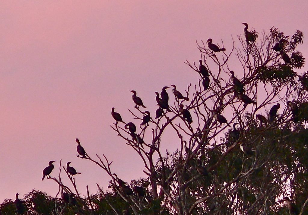 Double-crested cormorants roost in eucalyptus trees at Windy Cove.