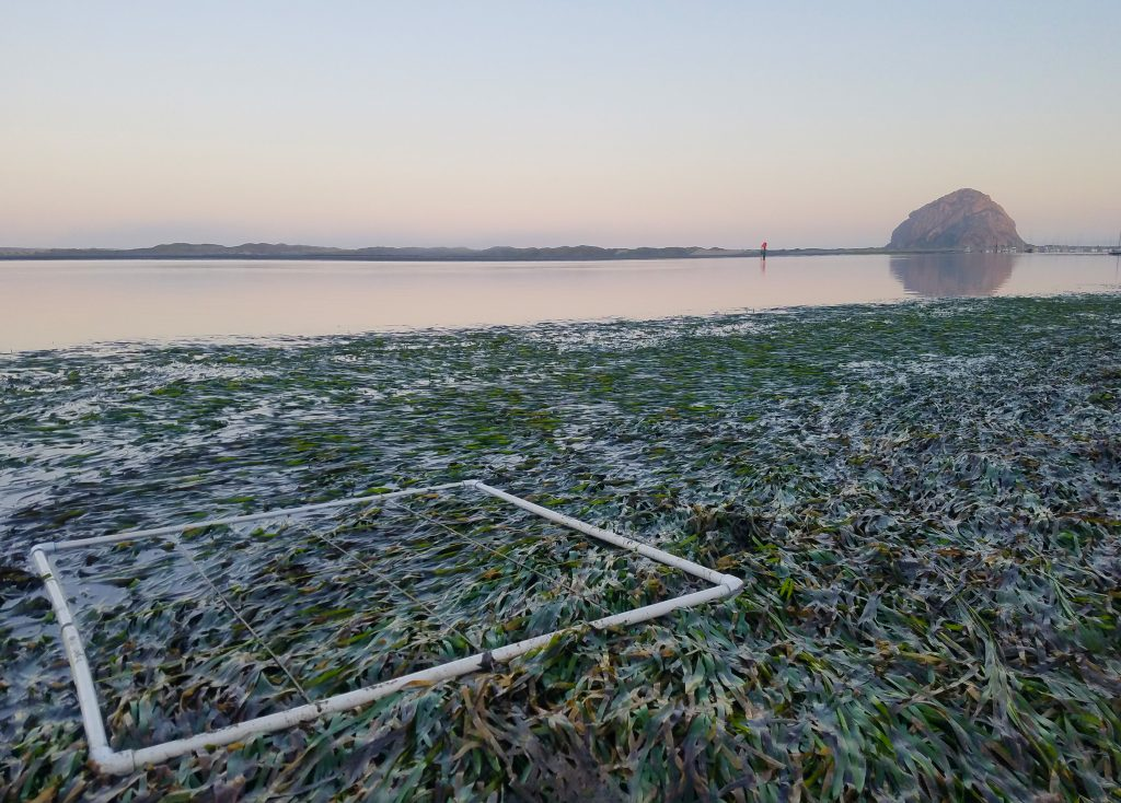A square white quadrat made from PVC pipe sits on top of a patch of dense eelgrass. Morro Rock and the bay are in the background. The water is rosy with first light.
