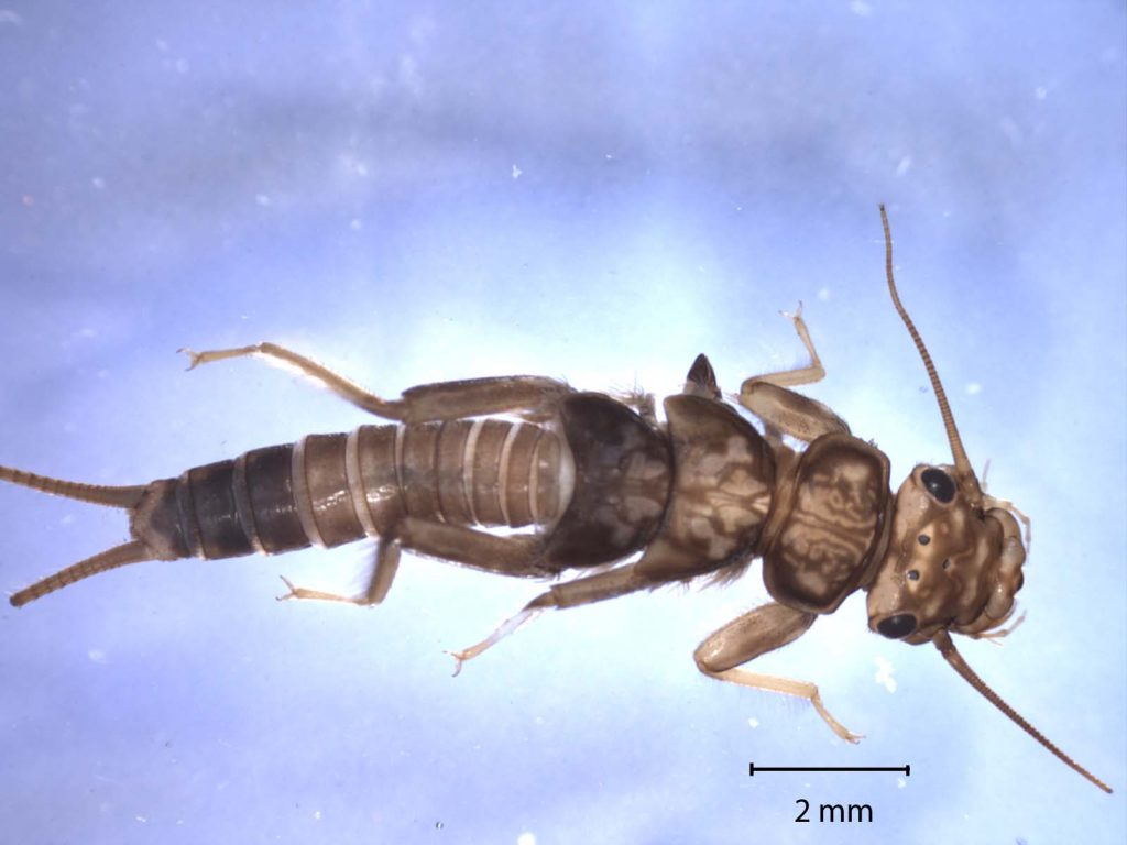 A closeup of a stonefly nymph. The types and numbers of macroinvertebrates found factor in to the overall bioassement survey results for a certain stretch of creek.