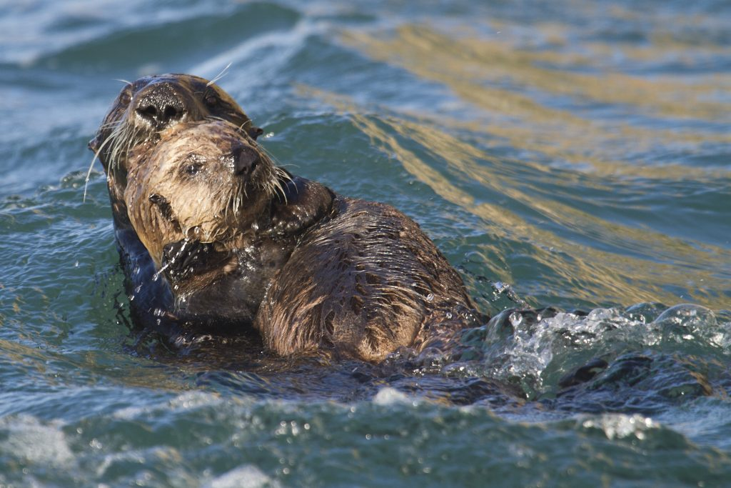 An example of a sea otter mom showing all the signs of escaping the photographer: alert, eye contact, active, swimming away. Photo by anonymous source, used with permission.