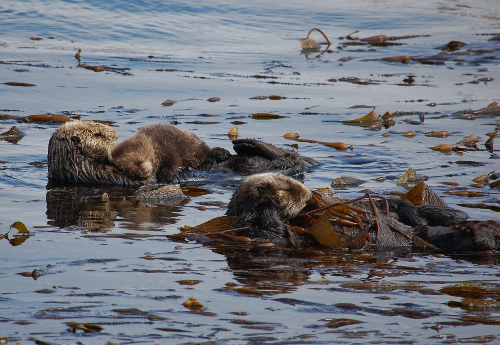 A discriminating eye can identify photos of sea otters that feature natural, undisturbed behaviors. Photo credit Gena Bentall Taken from shore, from 60 meters away, with 300mm zoom. Naps disturbed = 0.