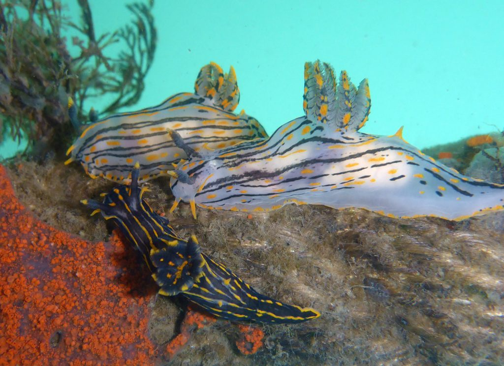 Three Polycera atra nudibranchs face left. Two larger individuals are mostly white with black stripes and orange dotted coloring. A smaller individual below and to the left of these individuals is mostly black with orange stripes and some grey/white streaks.