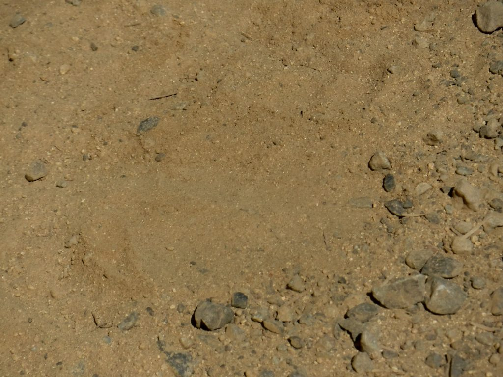 This black bear track was photographed in Trinity National Forest by Josh Gross. Shared here via Flickr under Creative Commons License.