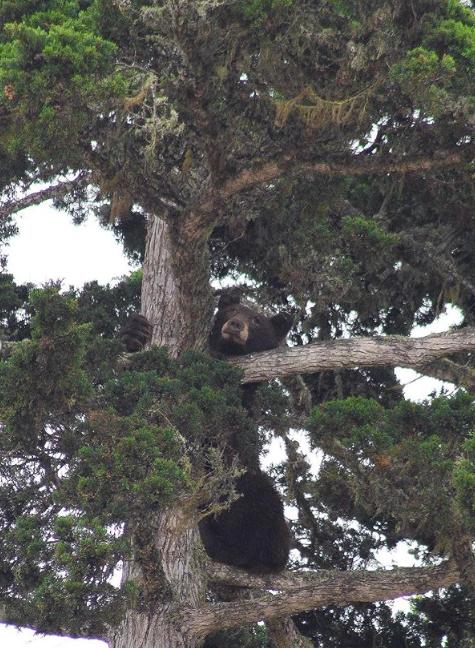 A black bear climbed a tree in Los Osos. Photograph copyright Ashbrd, https://www.instagram.com/ashbrd/?hl=en