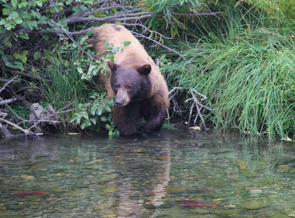 This black bear, which, like some of the species is actually a cinnamon-brown color, wades into Taylor Creek to catch Kokanee salmon.