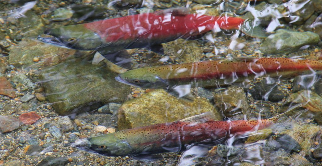 Kokanee salmon like these spawn in Taylor Creek in Lake Tahoe every fall. Photograph by Rose Davies via Flickr, shared under a Creative Commons license.