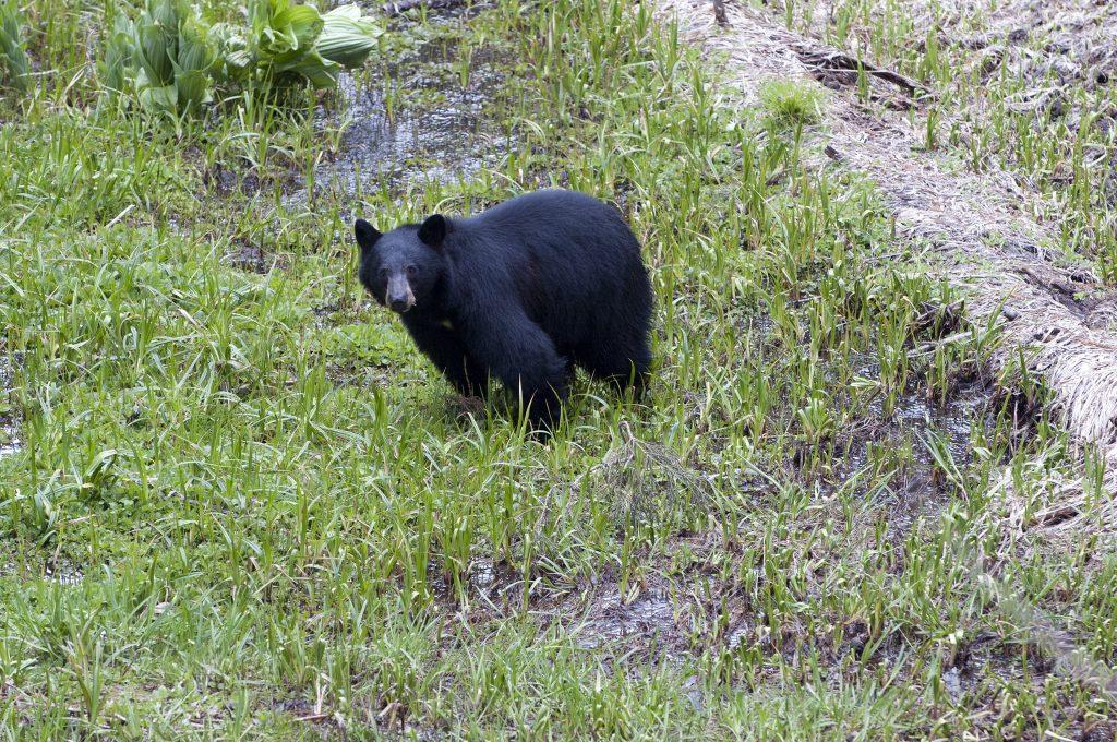 Black bear standing in grass.