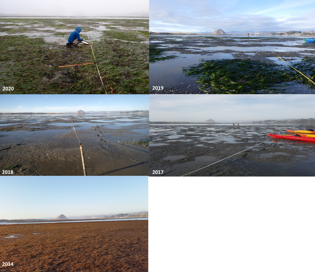 Eelgrass monitoring near Pasadena Point from 2014 to 2020. The photo from 2014 illustrates the lack of eelgrass and the extensive coverage of the area by red algae. The site had bare mudflats in 2017 and 2018. Starting in 2019, some patches of eelgrass have formed. Staff was excited to see the expansion of eelgrass during the 2020 monitoring.