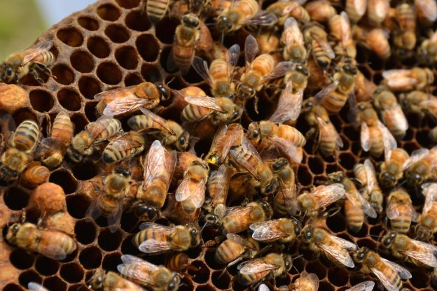 Many bees on a honeycomb. One bee, marked with a yellow dot, is the queen.