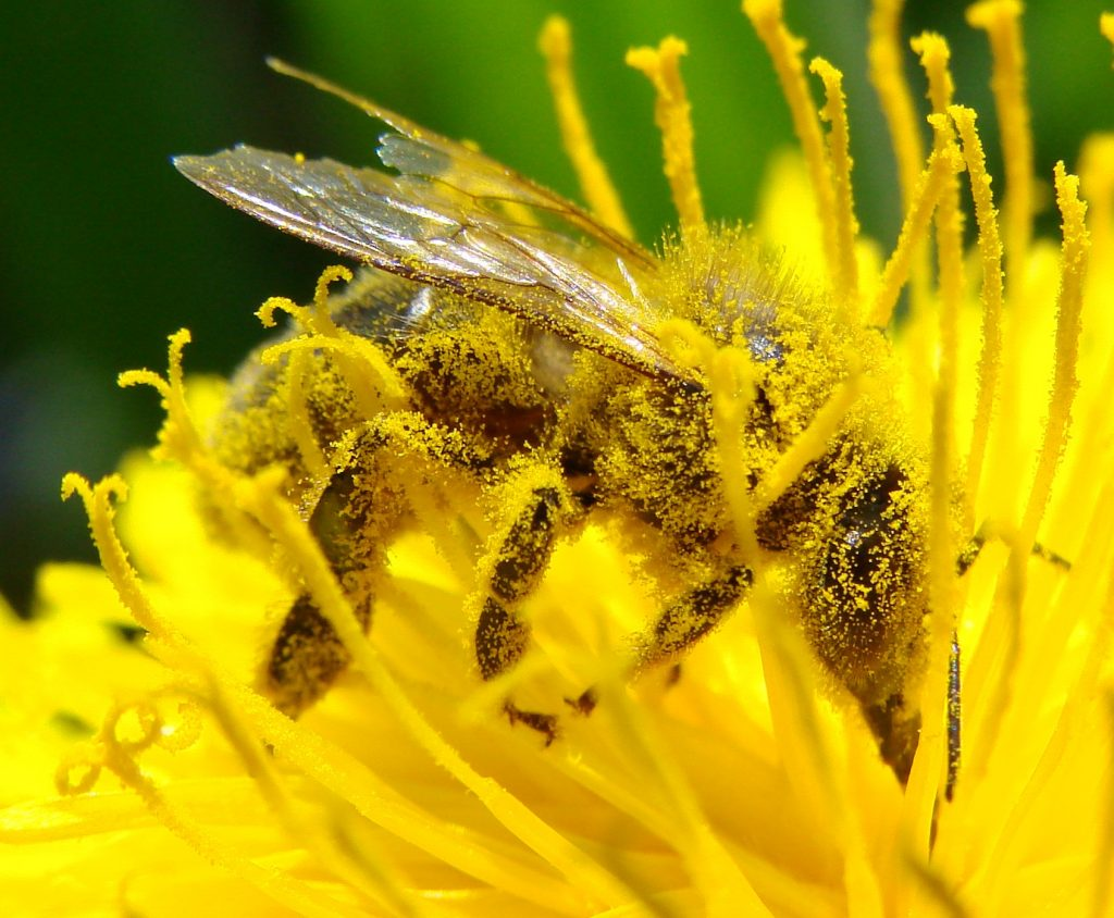 A bee covered in pollon from mouth to stinger sips nectar from a flower. The flower is yellow and the bee is between the many stamens in the blossom.