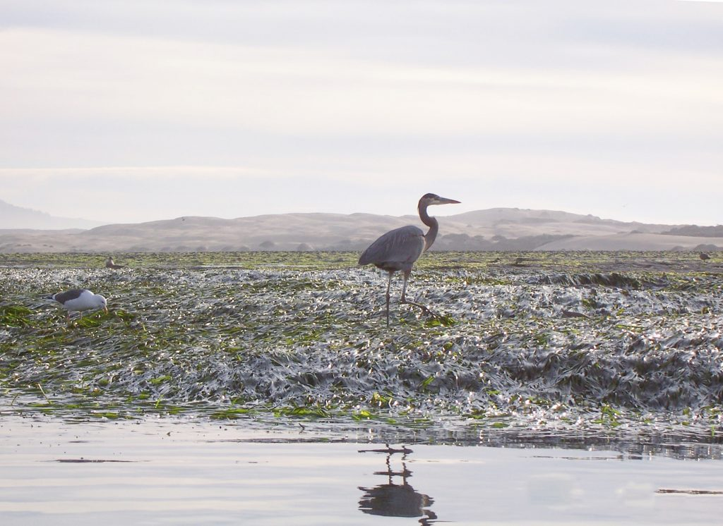 Eelgrass provides refuge and foraging opportunities for marine wildlife, including the heron and gulls pictured here.