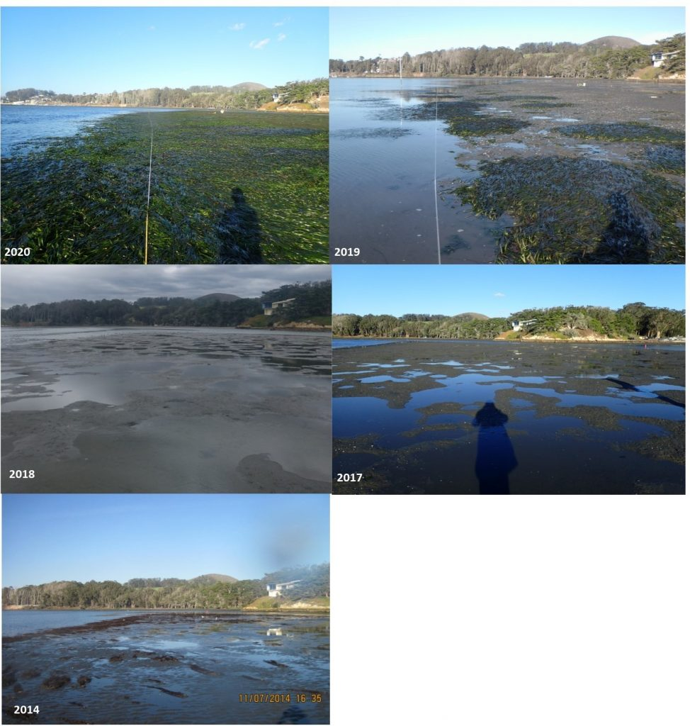 This photo shows a time series from one of our eelgrass monitoring sites near State Park Marina in Morro Bay that has seen more eelgrass than we've ever documented!