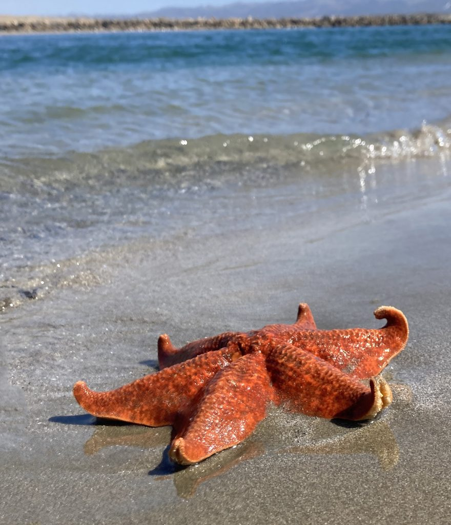 An orange bat star with six legs rests on the wet sand.