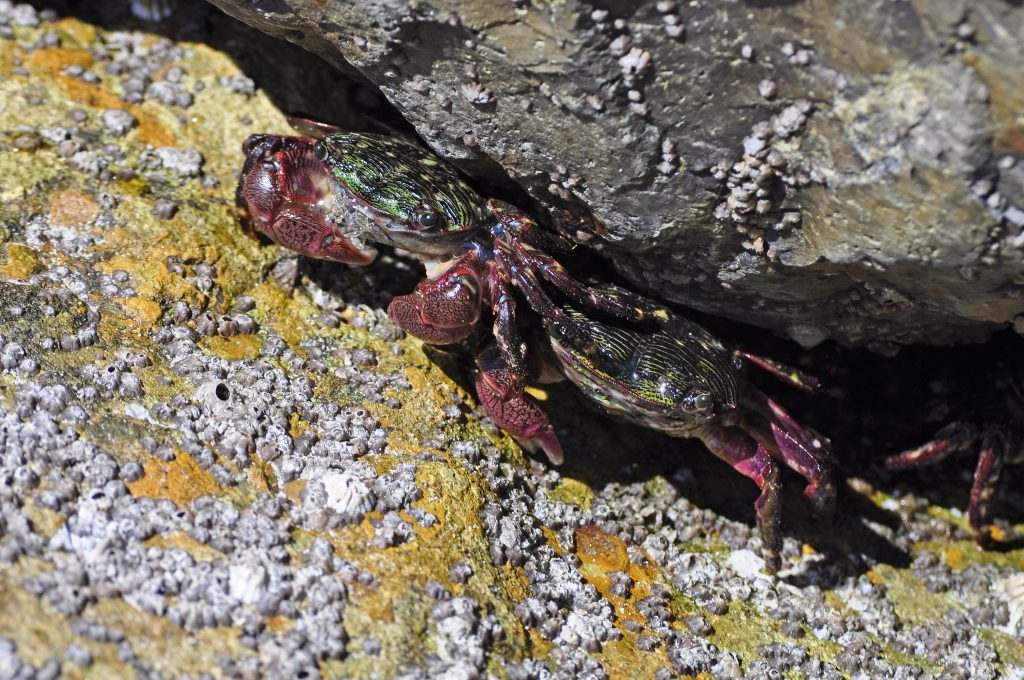 Two striped shore crabs hide under a rock surrounded by barnacles and yellow, green materials on the rocks.