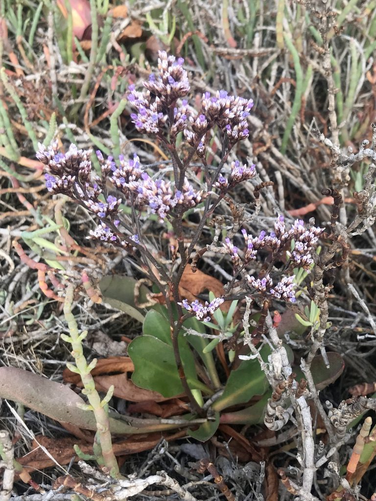 Native California sea lavender has longer, thinner leaves with tiny flowers that are a duller purple,