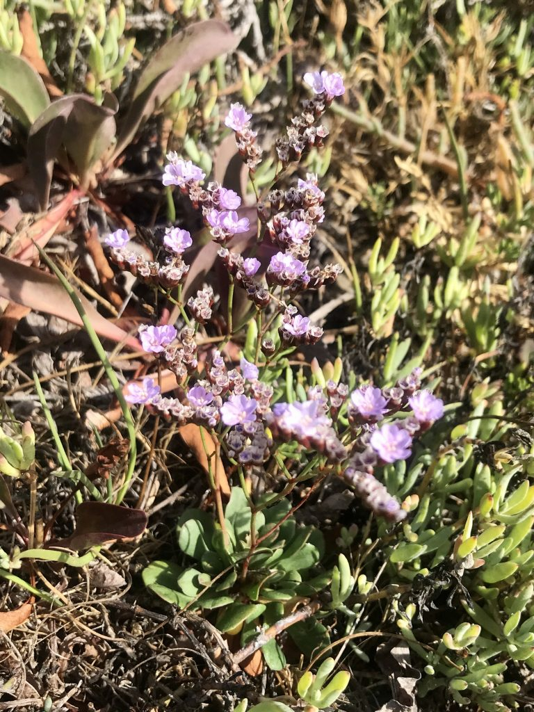 Nonnative European sea lavender the invasive has bright purple flowers and thick oval-shaped leaves.