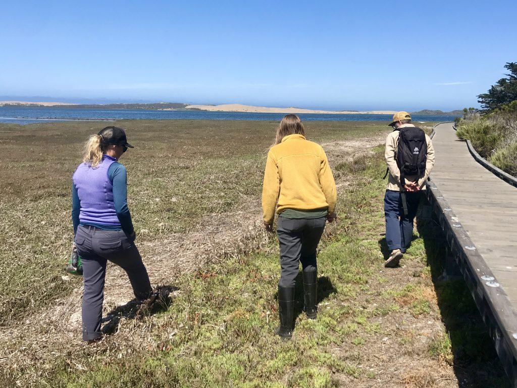 Estuary Program and Land Conservancy staff walk along the Morro Bay State Park Boardwalk monitoring for invasive non-native European sea lavender.