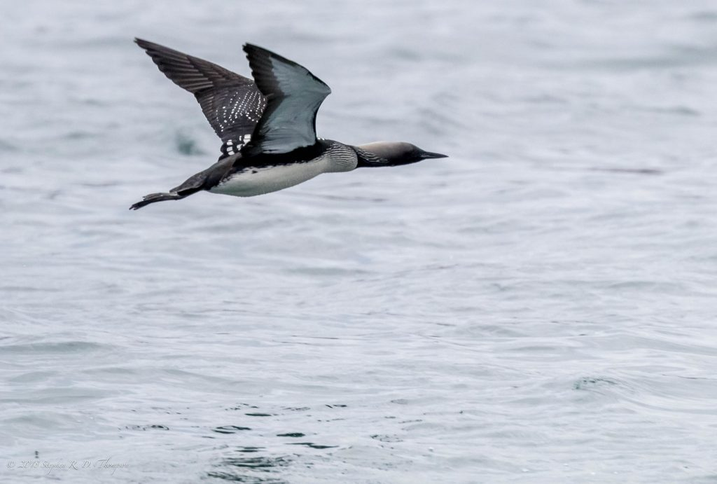 Many of the birds affected from the red tide in Monterey, California during 2007 were seabirds like the Pacific Loon, seen in the photo above. Photograph courtesy of Stephen R.D. Thompson, shared via Flickr under Creative Commons License.