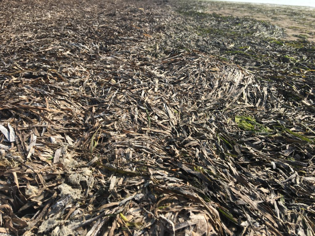 Eelgrass wrack (as seen above) provides a number of ecological functions including increased habitat, food and nutrient recycling.